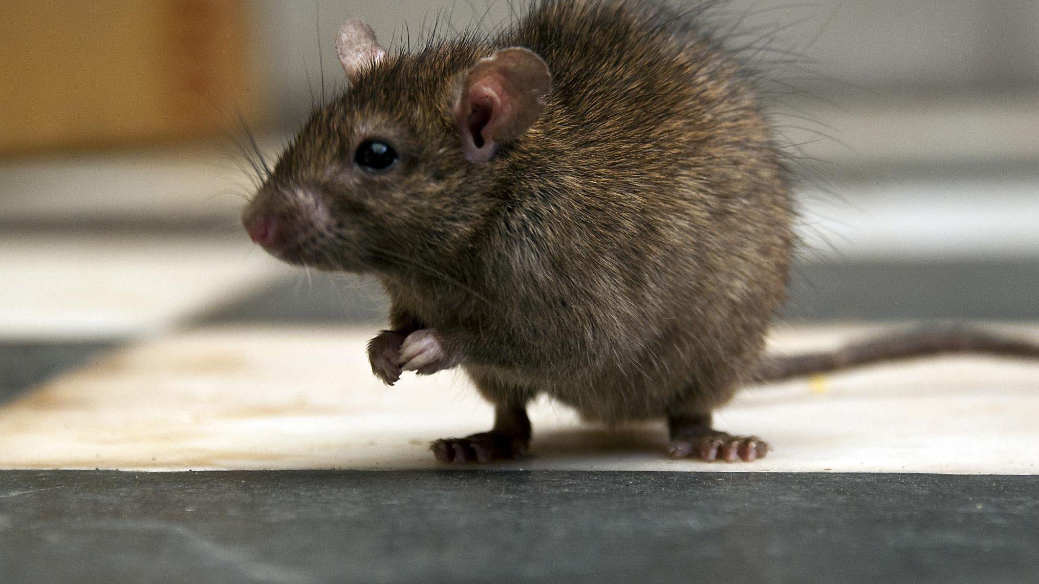 Dicas para evitar infestação de ratos no inverno