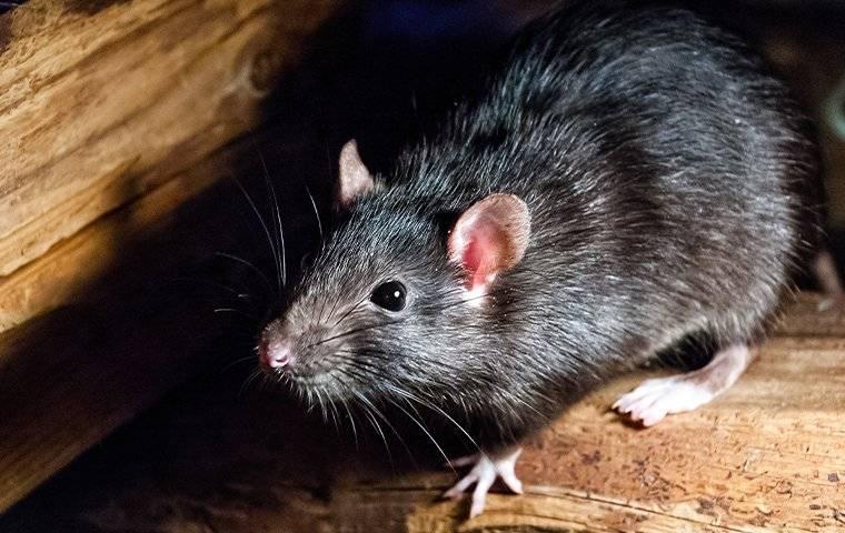 Exterminação de ratos em Curitiba