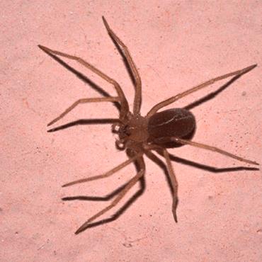 Aranhas marrom são perigosas