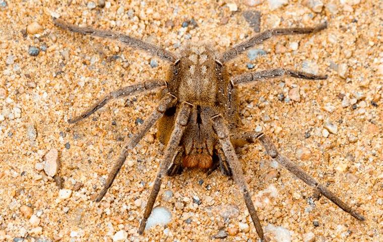 Dedetização de aranha armadeira