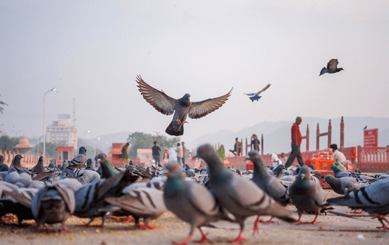 Como se livrar dos pombos