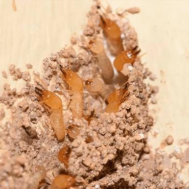 Cupim subterrâneo