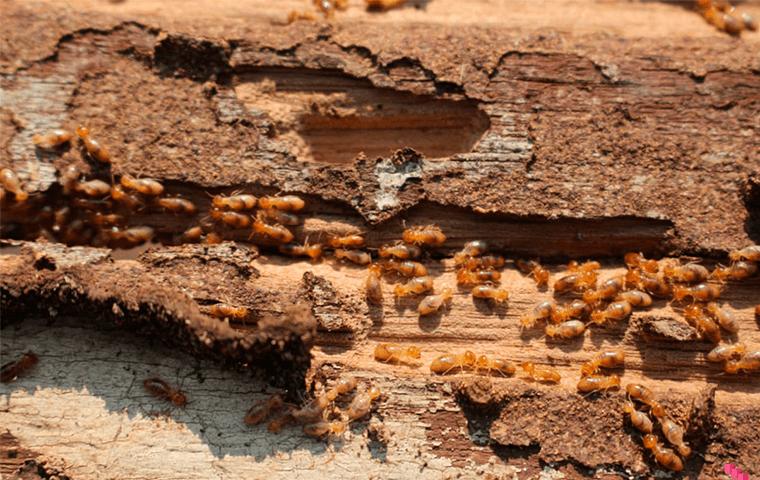 Descupinização de madeira